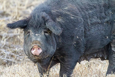 Photograph - Female Hog by James BO Insogna