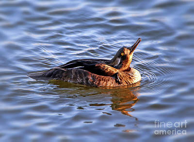 Photograph - Immature Male Hooded Merganser by Elizabeth Winter