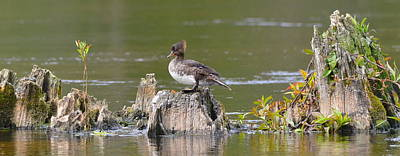 Photograph - Female Hooded Merganser On Cypress Knees by Carla Parris