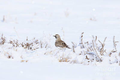 Photograph - Female Horned Lark by Alyce Taylor