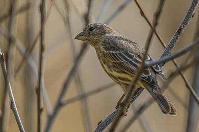 Photograph - Female House Finch by Bruce Pritchett