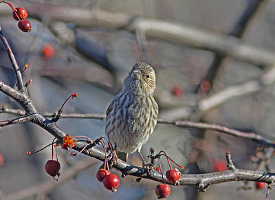 Berries Photograph - Female House Finch by Gary Wing