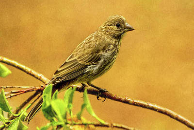 Photograph - Female House Finch by Kay Brewer