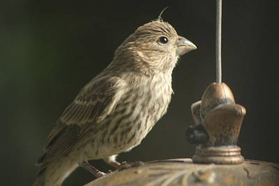 Female House Finch On Feeder Art Print