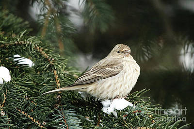 Photograph - Female House Finch On Snow by Alyce Taylor