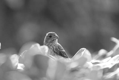 Female House Finch Perched In Black And White Art Print