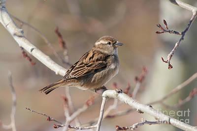 Female House Sparrow Art Print
