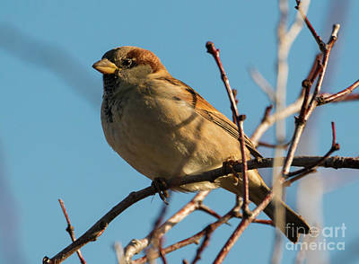 Female House Sparrow Art Print by Mike Dawson