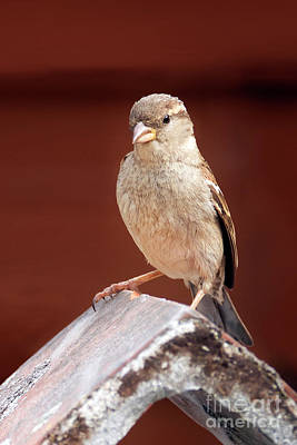 Photograph - Female House Sparrow by Terri Waters