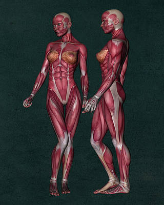 Female Human Anatomy 14 Art Print