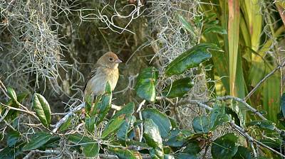 Photograph - Immature Female Indigo Bunting by Carol Bradley