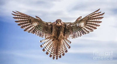 Digital Art - Female Kestrel Hovering by Liz Leyden