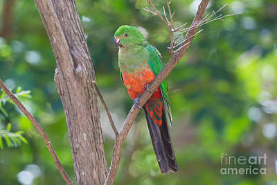 King Parrot Photograph - Female King Parrot by B.G. Thomson