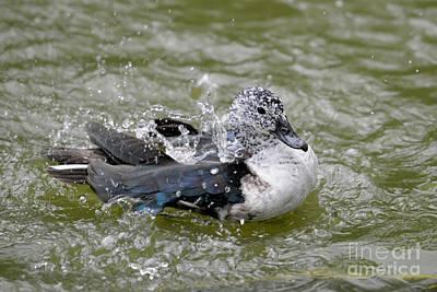 Photograph - Female Knob-billed Duck by Olga Hamilton