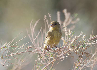 Photograph - Female Lesser Goldfinch by Ruth Jolly