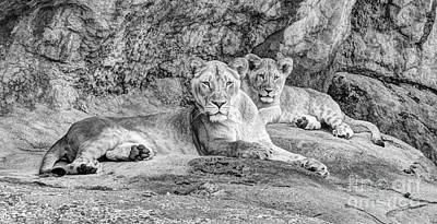 Juvenile Wall Decor Photograph - Female Lion And Cub Bw by Marv Vandehey