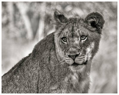Photograph - Female Lion In Sepia by Ginger Wakem
