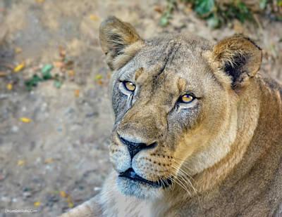 Photograph - Female Lion by LeeAnn McLaneGoetz McLaneGoetzStudioLLCcom