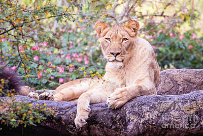 Photograph - Female Lion Resting by Stephanie Hayes