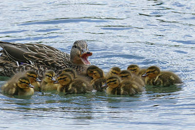 Photograph - Female Mallard Calling To Her Young by Bill Jordan