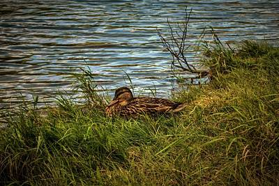 Photograph - Female Mallard Duck At Saco Lake Crawfor Notch, Nh by Naturally NH