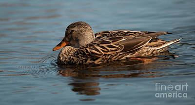 Photograph - Female Mallard Duck Call by Dale Powell