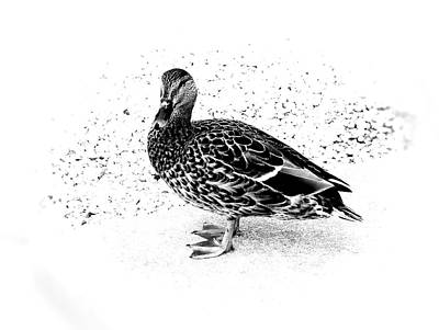 Photograph - Female Mallard Duck In Black And White 1 by Angie Tirado