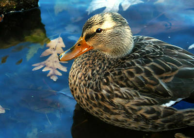 Photograph - Female Mallard Duck In The Fox River by Jeanette Fellows