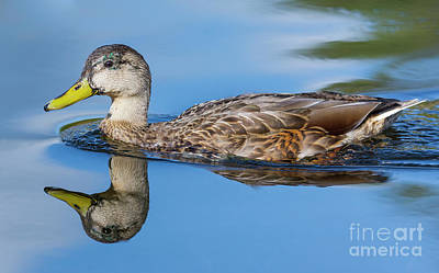 Water Reflection Photograph - Female Mallard Duck In Water by Geoff Smith