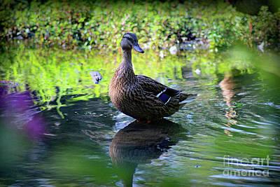 Photograph - Female Mallard Duck by Karen Adams