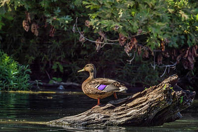 Photograph - Female Mallard Duck by Pamela Williams