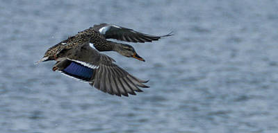 Photograph - Female Mallard Flying by Marilyn Wilson