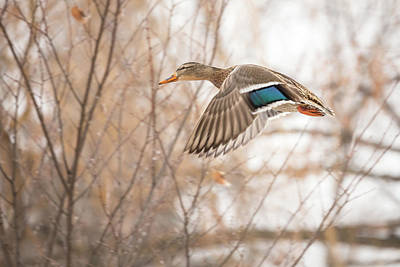 Photograph - Female Mallard In Flight by Penny Meyers