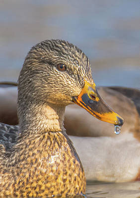 Photograph - Female Mallard Macro by Jeff at JSJ Photography