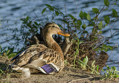 Photograph - Female Mallard by Rick Mosher