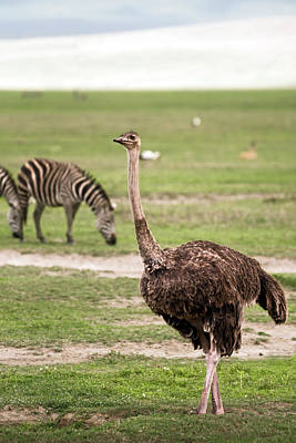Photograph - Female Masai Ostrich And Zebras In Ngorongoro Crater by RicardMN Photography
