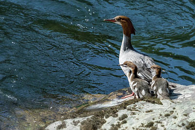 Photograph - Female Merganser With Her Young by Belinda Greb