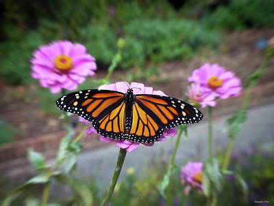 Photograph - Female Monarch  by Hannah Underhill