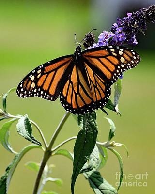 Abstract Airplane Art - Female Monarch on Butterfly Bush by Cindy Treger