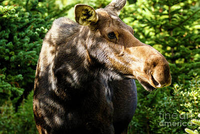 Photograph -  Female Moose At Jackson Hole by Ben Graham