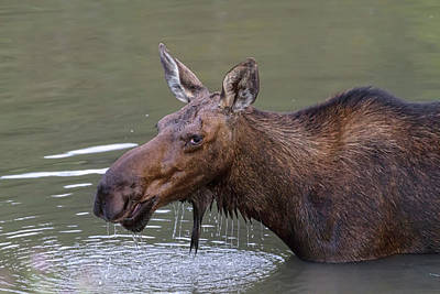 Photograph - Female Moose Head Shot by James BO Insogna