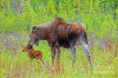 Photograph - Female Moose Nuzzles Her Calf by David Arment