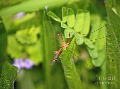 Photograph - Female Mosquito by Terri Mills