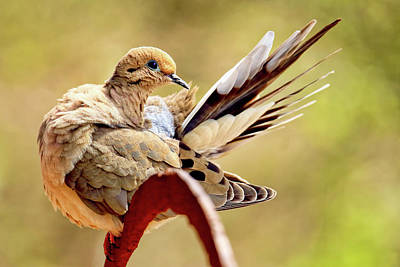 Modern Feathers Art - Female mourning dove preening  by Geraldine Scull