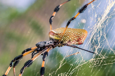 Arachnida Digital Art - Female Nephila Clavipes by Rob Sellers