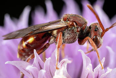 Photograph - Female Nomada by Brian Hale