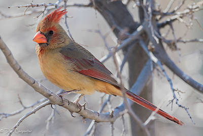 Photograph - Female Northern Cardinal by Dee Carpenter
