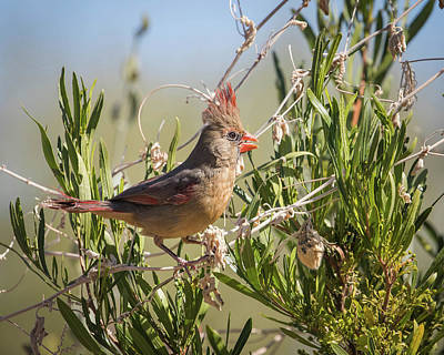 Photograph - Female Northern Cardinal-img_402118 by Rosemary Woods-Desert Rose Images