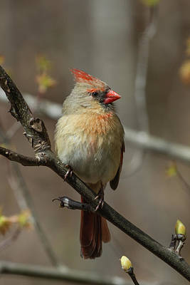 Photograph - Female Northern Cardinal In Spring by John Haldane