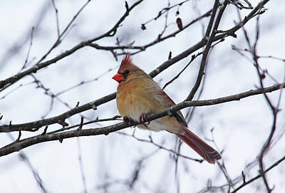 Photograph - Female Northern Cardinal In Winter by Debbie Oppermann